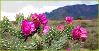 Cactus in bloom in the New Mexico desert